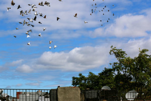 Flying Rats 9